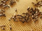 Urban Beekeeping Growing In Popularity