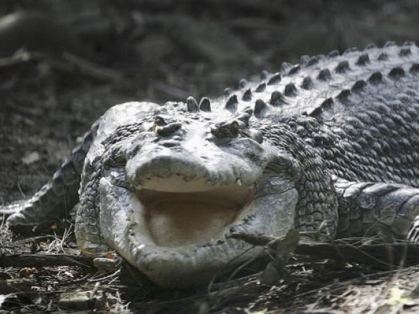 Cane Toads Blamed For Crocodile Deaths